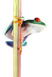 Red-Eyed Tree Frog Royalty Free Stock Images