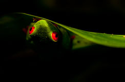 Red-eyed Tree frog. Hanging from a leaf Royalty Free Stock Photography