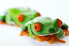 Red Eyed Tree Frog. Two colorful red eyed tree frogs sitting and staring alertly Stock Image
