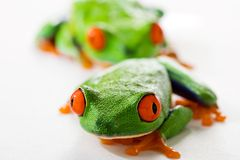 Red Eyed Tree Frog. Two colorful red eyed tree frogs sitting and staring alertly Royalty Free Stock Photography
