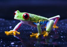 Free Red Eyed Tree Frog Stock Images - 2168794