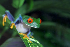 Red Eyed Tree Frog Stock Photos