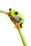 Red-eyed tree frog. (Agalychnis callidryas) on stem of plant, closeup isolated on white with focus on eye