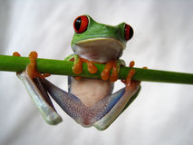 Red-eyed tree frog 40. A red-eyed tree frog is hanging on a green bar Stock Image