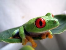 Red eyed tree frog 5. A red eyed tree frog is sitting on a green leaf Stock Photos