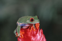 Red eyed tree frog. Atop bright red leaf Royalty Free Stock Photo