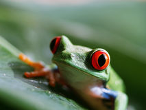 Red-eyed tree frog 56. Red-eyed tree frog, is sittiing on a green leaf Royalty Free Stock Photo