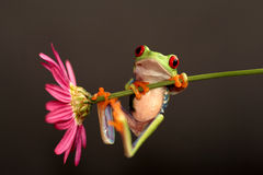Red eyed tree frog Stock Image