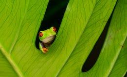 Free Red Eyed Tree Frog Stock Image - 58221301