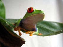 Red eyed tree frog 6. A red eyed tree frog is sitting on a green leaf Stock Image