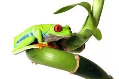 Red-Eyed Tree Frog. Colorful Red-Eyed Tree Frog on Bamboo.  Isolated on white background Royalty Free Stock Photo