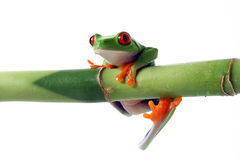 Red-Eyed tree frog. Hanging from green bamboo, white background Stock Photography