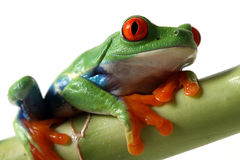 Red-Eyed Tree Frog Royalty Free Stock Photography