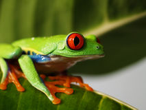 Red-eyed tree frog 72. A red-eyed tree frog is sitting on a green leaf Royalty Free Stock Photography