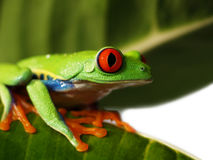 Red eyed tree frog (72), Agalychnis callidryas Stock Photo