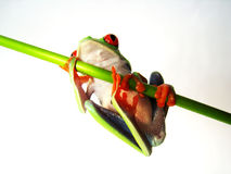 Red eyed tree frog (78) agalychnis callidryas Stock Photography