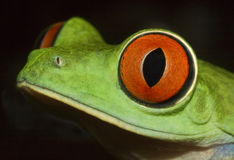 Red eyed tree frog. Detail of head of red eyed tree frog(Agalychnis callydrias Royalty Free Stock Image