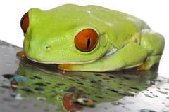 Red eyed tree frog. (Agalychnis callydrias) on wet glas with white background Stock Photo