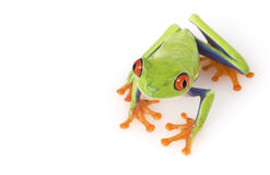 Red-eyed Tree Frog (Agalychnis callidryas) Royalty Free Stock Photography