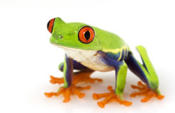 Red-eyed Tree Frog (Agalychnis callidryas) Stock Image
