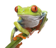 Red-eyed Tree Frog - Agalychnis callidryas Royalty Free Stock Image