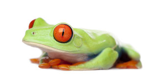 Red-eyed Tree Frog - Agalychnis callidryas Stock Photography
