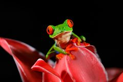 Red-eyed Tree Frog, Agalychnis callidryas, animal with big red eyes, in the nature habitat, Panama. Frog from Panama. Beautiful fr. Og in forest, exotic animal stock photography