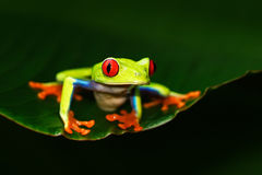 Red-eyed Tree Frog, Agalychnis callidryas, animal with big red eyes, in the nature habitat, Costa Rica. Frog in the nature. Beauti Stock Photos