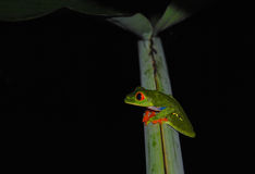 The red-eyed tree frog (Agalychnis callidryas) Royalty Free Stock Photos