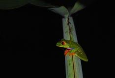 The red-eyed tree frog (Agalychnis callidryas) Royalty Free Stock Photos