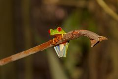 Red-eyed Tree Frog; Agalychnis callidryas; Caribbean race, Cosat Rica stock photos