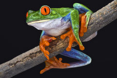 Red-eyed tree frog (Agalychnis callidryas) Stock Photos