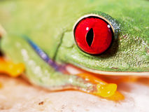 Red-eyed tree frog (157), Agalychnis callidryas Royalty Free Stock Photography