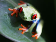 Red-eyed tree frog (68) agalychnis callidryas Royalty Free Stock Photography