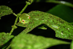 Red-eyed Tree Frog, Agalychnis callidryas by night in Costa Rica Stock Photos