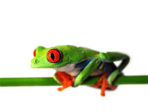 Red-eyed tree frog (127), agalychnis callidryas Royalty Free Stock Images