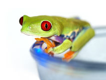Red-eyed tree frog (120), Agalychnis callidryas, with white backgr Royalty Free Stock Images