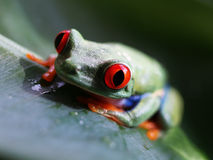 Red eyed tree frog (67) agalychnis callidryas Royalty Free Stock Photo