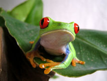 Red-eyed tree frog (3) agalychnis callidryas Stock Photography
