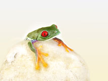 Red-eyed tree frog (140), agalychnis callidryas Stock Image