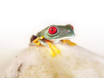 Red-eyed tree frog (150), agalychnis callidryas Stock Photo