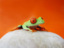 Red-eyed tree frog (136), agalychnis callidryas Stock Images