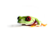 Red-eyed tree frog (105), agalychnis callidryas Stock Image