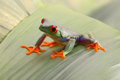 Red eyed tree frog, or Agalychnis callydrias a small beautiful amphibian. From the jungle of Costa Rica royalty free stock images