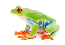 Red eyed tree frog, Agalychnis callydrias from the tropical rain forest. Red eyed tree frog, Agalychnis callydrias. A tropical rain forest animal isolated on a stock photography