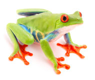 Red eyed tree frog, Agalychnis callydrias. A tropical rain forest animal isolated on a white background royalty free stock photos