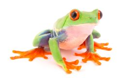 Red eyed tree frog, Agalychnis callydrias from the tropical rain forest. Red eyed tree frog, Agalychnis callydrias. A tropical rain forest animal isolated on a stock image