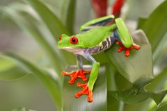 Red eyed tree frog, Agalychnis callydrias from the tropical rain forest. In Central America, Costa Rica, Panama And Nicaragua stock photo