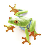 Red eyed tree frog, Agalychnis callydrias. From the tropical rain forest of Costa Rica isolated on a white background royalty free stock images