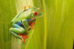 Red eyed tree frog, Agalychnis callydrias. A vivid amphibian from the rain forest of central America. An animal with vibrant eye stock photography